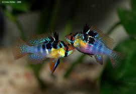 Papiliochromis ramirezi German Blue