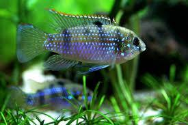 Pelmatochromis thomasi 4-5cm