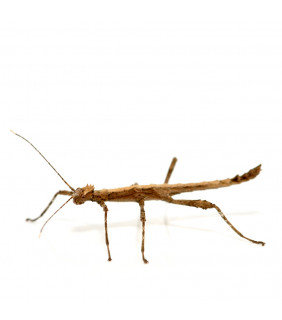 Thorny Stick Insect