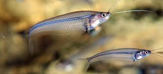 MALAYSIA GLASS FISH M