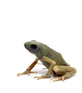 green black Dart Frog ero ora