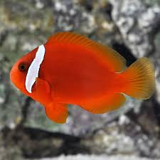 TOMATO CLOWN S/M (Amphiprion frenatus)