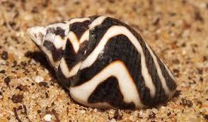 Pictocolumbella ocellata - lighting dove snail