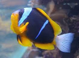 ALLARDS CLOWN FISH M