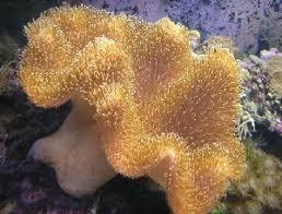 Soft Mushroom 20 cm Sarcophyton e