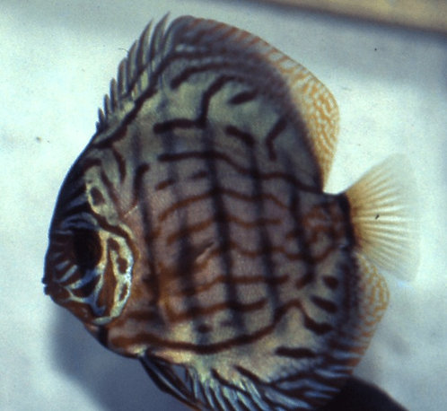 Symphysodon Wattley (Wild)