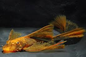 Ancistrus Red Brown LDA 16 long fin 3.5cm - 4.5cm