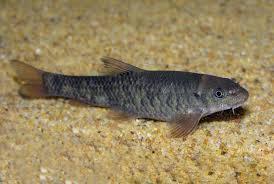 Garra rufa - Doctor fish 2.25-3.25cm