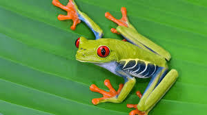 Amazon red eye Green Tree Frog