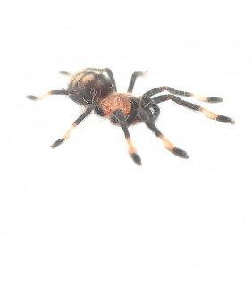 Suntiger Tarantula, Spiderling