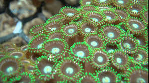 Green Super Polyp 5 cm Zoanthus sp