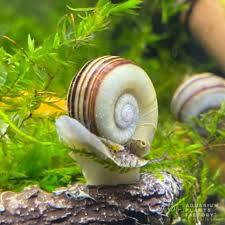 marisa cornuarietis snail - freshwater