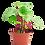 Thumbnail: Peperomia argyreia (Watermelon Peperomia)