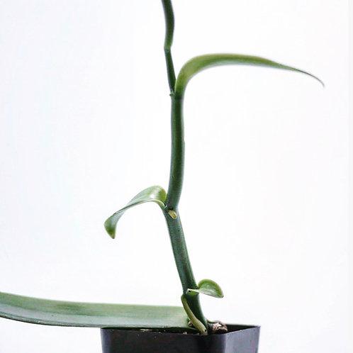 In Vitro Vanilla planifolia