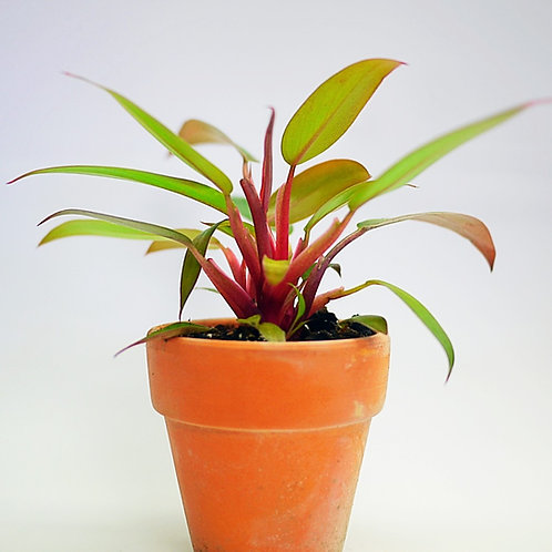 Philodendron Super Dwarf - Red Stem