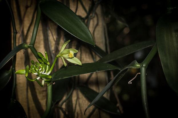 Vanilla-Orchid.jpg
