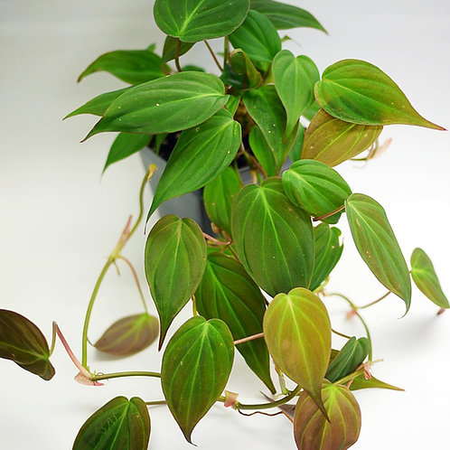 Philodendron hederaceum (micans)