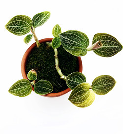 Jewel_Orchid_In_Live_Moss.jpg