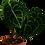 Thumbnail: Anthurium clarinervium