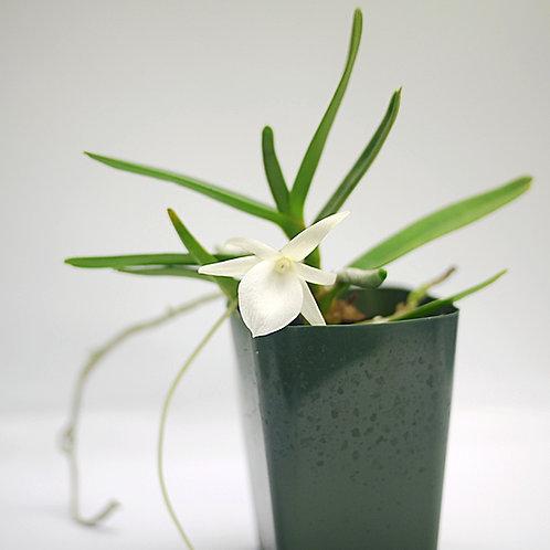 Angraecum didieri - Flowering Size