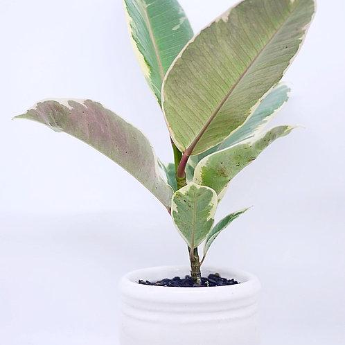 Ficus elastica 'tricolor' in White Planter