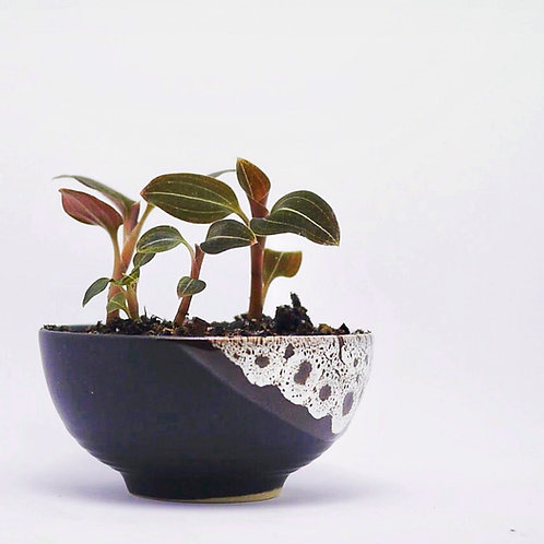 Tuscany Deer Eye Dipped Shallow Orchid Planter