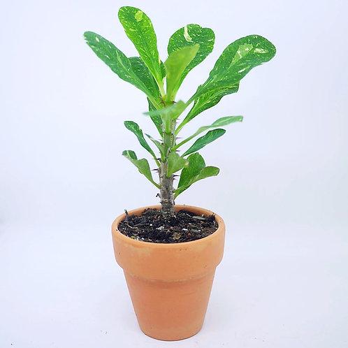 Variegated & Super Variegated Euphorbia Milii