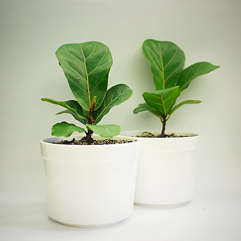 "Ficus lyrata 'bambino' - ""Little Fiddle"""