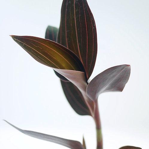 Ludisia discolor in White Planter