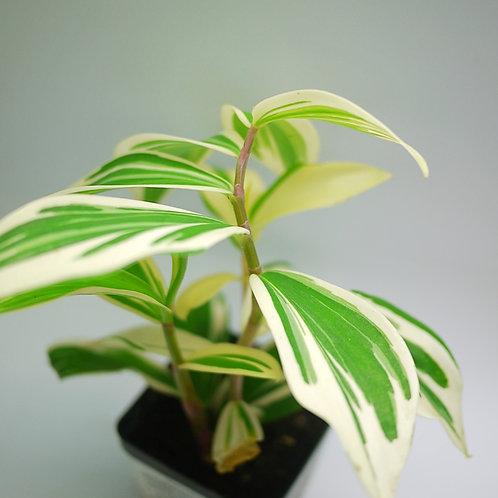 Costus arabicus 'Variegatus' (Variegated spiral ginger)