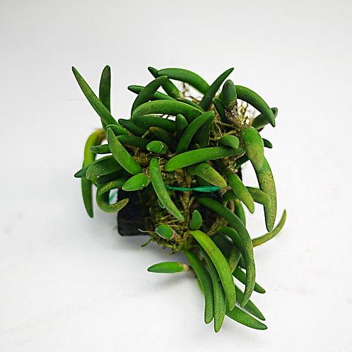 Dendrobium lichenastrum var. prenticei