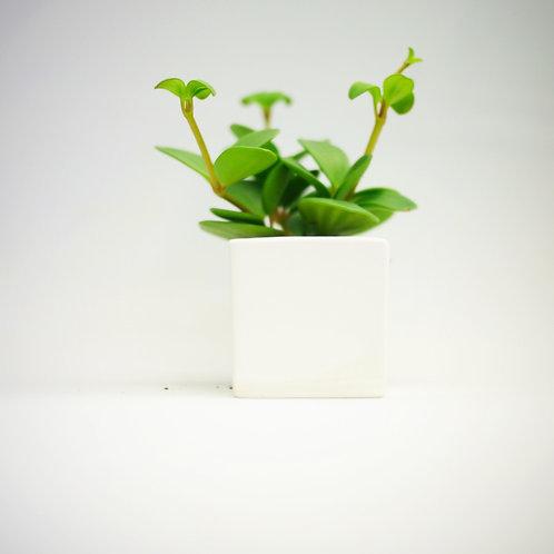 Peperomia rotundifolia 'Hope'