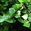 Thumbnail: Ficus leprieurii (triangularis)