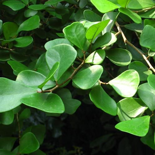 Ficus leprieurii (triangularis)