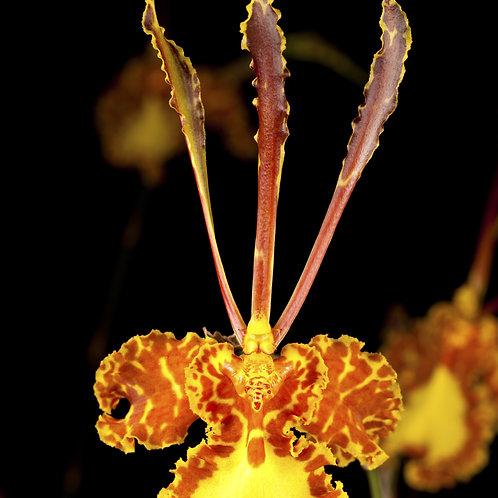 Psychopsis Mendenhall `Hildos' FCC/AOS (Butterfly x pap.)