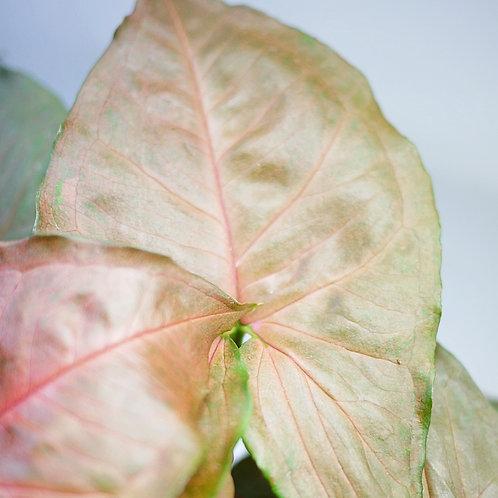 Syngonium podophyllum 'maria allusion'