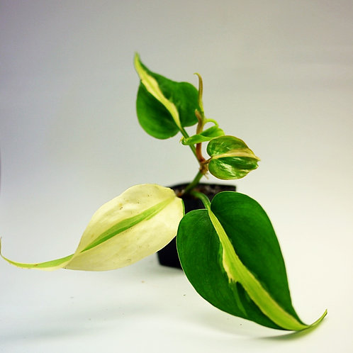 Philodendron (Philodendron hederaceum var. oxycardium 'Brasil') Silver Stripe