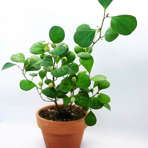 Ficus deltoidea 'mistletoe fig'