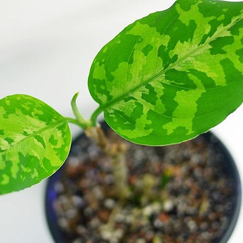 Aglaonema pictum 'tricolor'