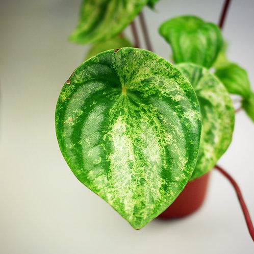 Variegated Peperomia argyreia (Watermelon Peperomia)