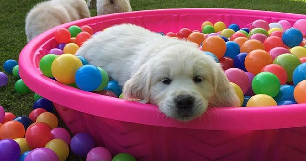 Image result for golden retriever puppy in ball pit