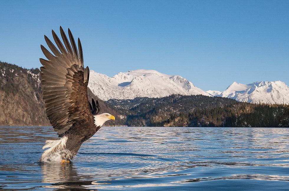 Bald Eagle 321.jpg