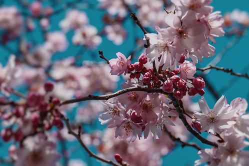 "8""x 10"" Pearl Photographic Print - DC Cherry Blossoms, Washington, DC"
