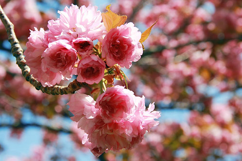 """11"""" x 14"""" Pearl Photographic Print - Cherry Blossoms"""