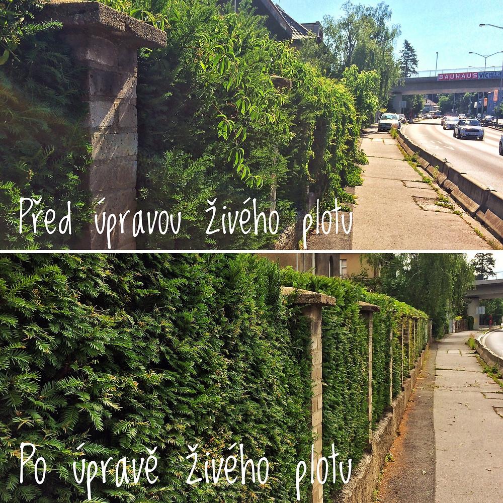 úprava živého plotu před a po, praha , holešovičky