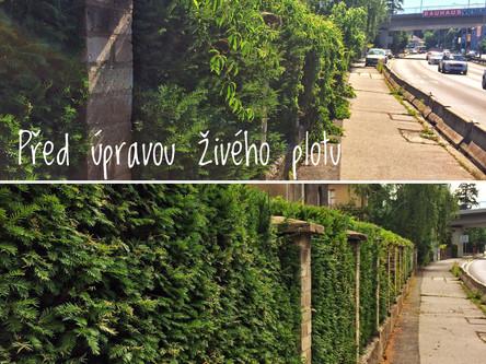 Stříhání živého zeleného plotu v pražských Holešovicích