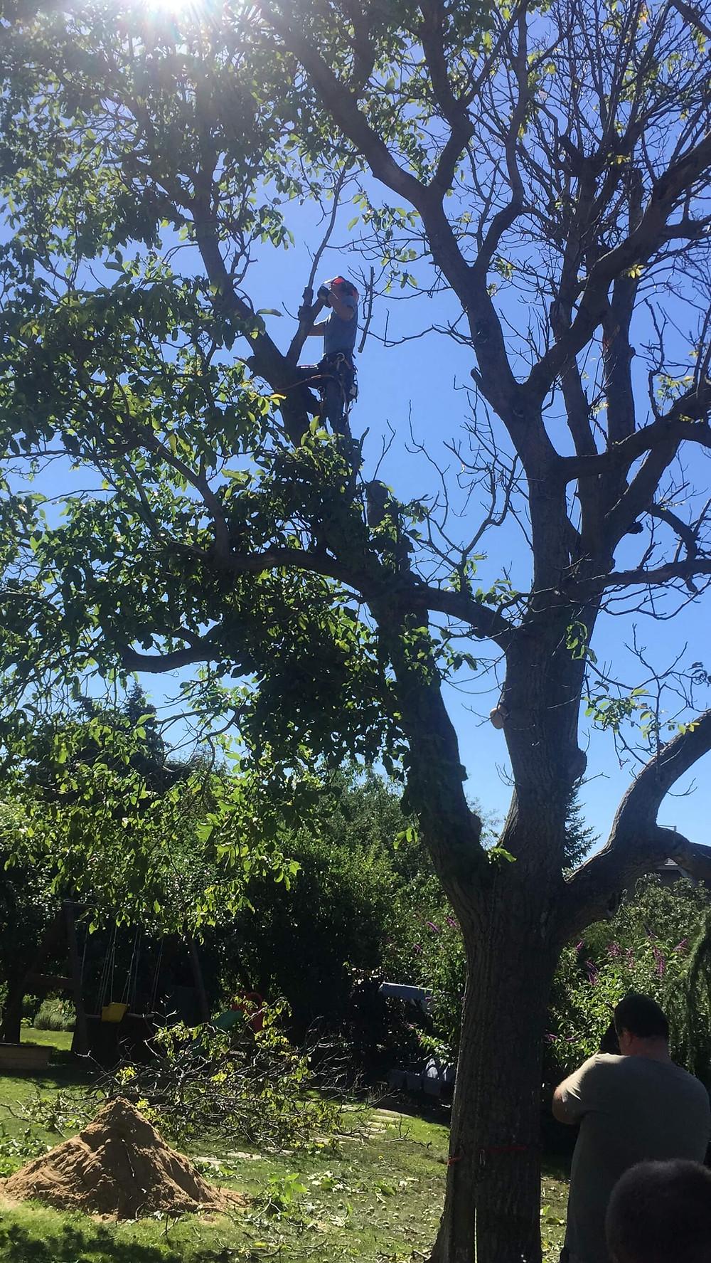 rizikove kaceni stromu ořech praha