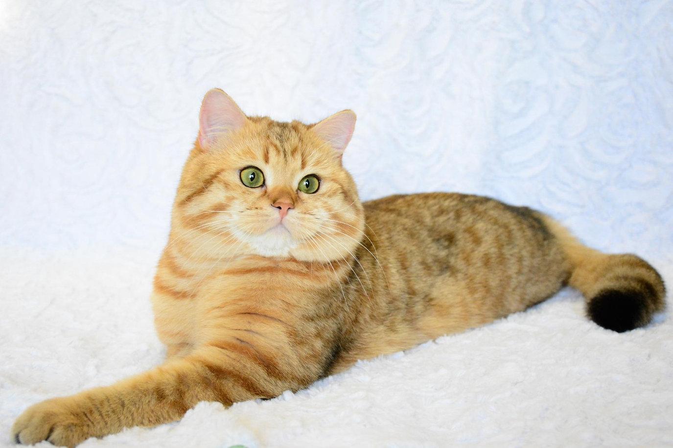 Murmuring Brook Питомник британских кошек Иркутск