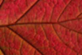 red-leaf-nature.jpg