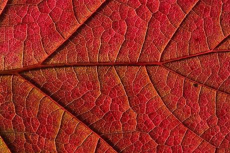 red-leaf-nature.jpg